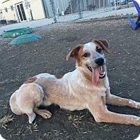 Adopt A Pet :: Calvin - Manhattan, KS
