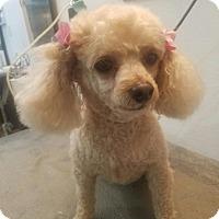 Adopt A Pet :: Brando - Las Vegas, NV