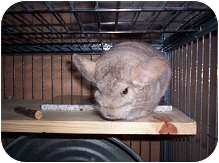 Chinchilla for adoption in Avondale, Louisiana - Yoda