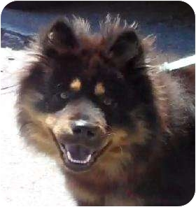 chow chow border collie mix - photo #21