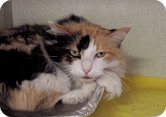 Domestic Longhair Cat for adoption in Chicago, Illinois - Indira