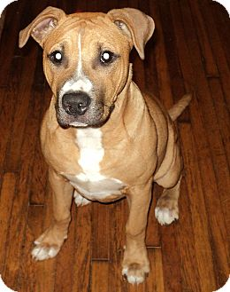 Boxer/Bulldog Mix Puppy for adoption in Tallahassee, Florida - Sassy