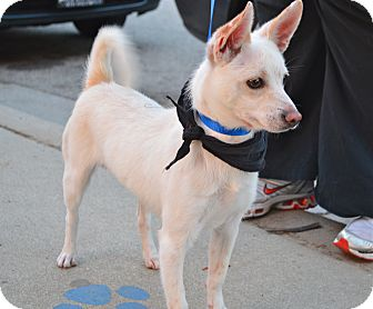Shiba Inu/Chihuahua Mix Puppy for adoption in Los Angeles, California - Foxy