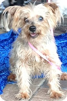 Yorkie, Yorkshire Terrier Mix Dog for adoption in Clermont, Florida - Nina