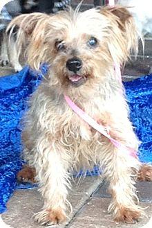 Yorkie, Yorkshire Terrier Mix Dog for adoption in Tavares, Florida - Nina