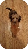 Yorkie, Yorkshire Terrier/Dachshund Mix Puppy for adoption in Russellville, Kentucky - Benji