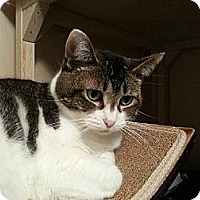 Domestic Shorthair Cat for adoption in Whitewater, Wisconsin - Jenni