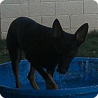 Adopt A Pet :: Zara - gorgeous - Phoenix, AZ