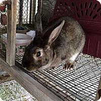 Adopt A Pet :: Jibbles - Corona, CA