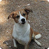 Collie/Beagle Mix Dog for adoption in Godfrey, Illinois - Peaches