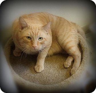 Domestic Shorthair Cat for adoption in Pekin, Illinois - Loki