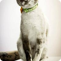 Adopt A Pet :: Lots of cool cats - Scottsdale, AZ