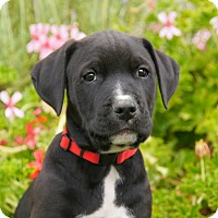 Adopt A Pet :: Toby von Tasha - Thousand Oaks, CA