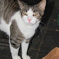 Domestic Shorthair Cat for adoption in Central Islip, New York - Vida