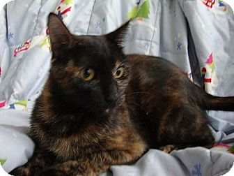 Domestic Shorthair Cat for adoption in Tampa, Florida - Shellie
