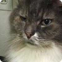 Adopt A Pet :: Fuzzy - Manchester, CT