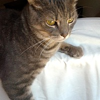 Domestic Shorthair Cat for adoption in Fairfield, Connecticut - Quincy