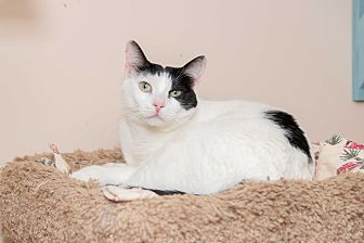 Domestic Shorthair Cat for adoption in Chicago, Illinois - Dustin