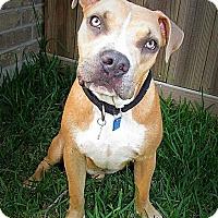 Adopt A Pet :: Charlie Brown - Houston, TX