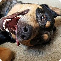 Australian Cattle Dog Dog for adoption in Severn, Maryland - Kallie - Adoption Pending - Congrats Walinski fam!