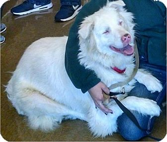 Australian Shepherd Dog for adoption in Goldsboro, North Carolina - Mr. Bump