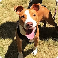 Adopt A Pet :: Kona~meet me! - Glastonbury, CT