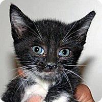 Domestic Shorthair Kitten for adoption in Wildomar, California - 313197