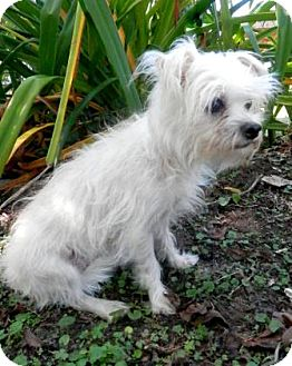 Maltese Mix Dog for adoption in Tyler, Texas - Lolly