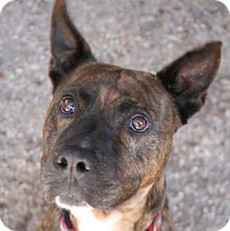 Australian Cattle Dog Mix Dog for adoption in Norfolk, Virginia - Pogo