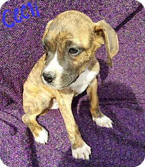 Boxer/Labrador Retriever Mix Puppy for adoption in Sussex, New Jersey - Cecil
