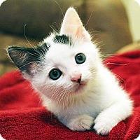 Domestic Shorthair Kitten for adoption in Austin, Texas - Yim