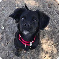 Spaniel (Unknown Type) Mix Dog for adoption in Seal Beach, California - Ruby
