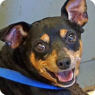 Miniature Pinscher Mix Dog for adoption in Sprakers, New York - Kody
