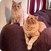 Adopt A Pet :: Hap and Pontiac - Arlington, VA