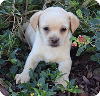 Tibetan Spaniel Mix Puppy for adoption in Palo Alto, California - Claus: Jingle