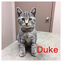 Adopt A Pet :: Duke - Woodstock, ON