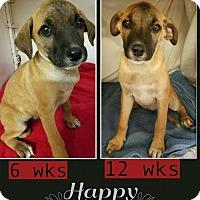 Adopt A Pet :: Echo-pending adoption - Manchester, CT