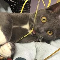 Adopt A Pet :: Stormy - Flint HIll, VA
