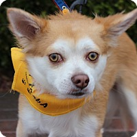 Adopt A Pet :: CARMINE - Las Vegas, NV