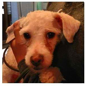Poodle (Miniature) Mix Dog for adoption in New York, New York - Lavinia