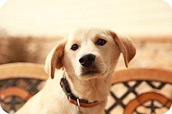 Golden Retriever/Labrador Retriever Mix Puppy for adoption in Lancaster, Ohio - Zeke