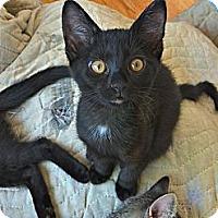 Adopt A Pet :: Francesca - St. Louis, MO