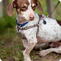 Adopt A Pet :: Olliver - La Crosse, WI