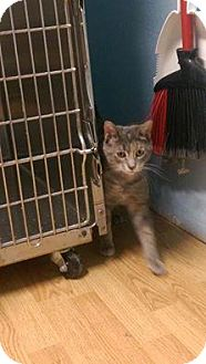 Domestic Shorthair Cat for adoption in Appleton, Wisconsin - Stella