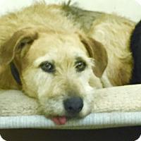 Adopt A Pet :: Joe - West Hollywood, CA