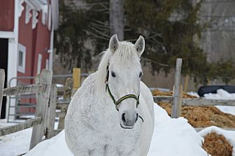 Percheron/Quarterhorse Mix for adoption in Washington, Connecticut - Tuskers