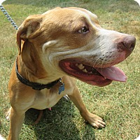 Pit Bull Terrier Mix Dog for adoption in Stamford, Connecticut - Charlie