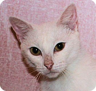 Domestic Shorthair Cat for adoption in Morganton, North Carolina - Tami