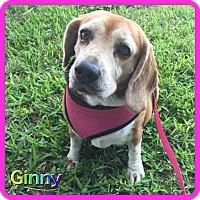 Adopt A Pet :: Ginny - Hollywood, FL