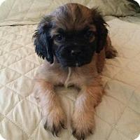 Adopt A Pet :: MR. BELDING - Rancho Cucamonga, CA